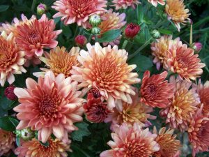 Air quality improving Chrysanthemums