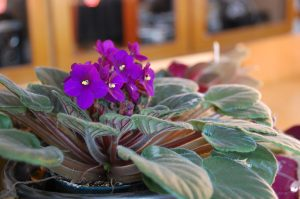 Air quality improving african violets
