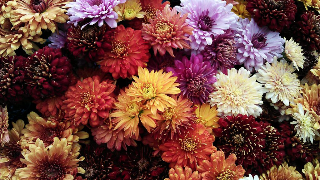 chrysanthemums many colours