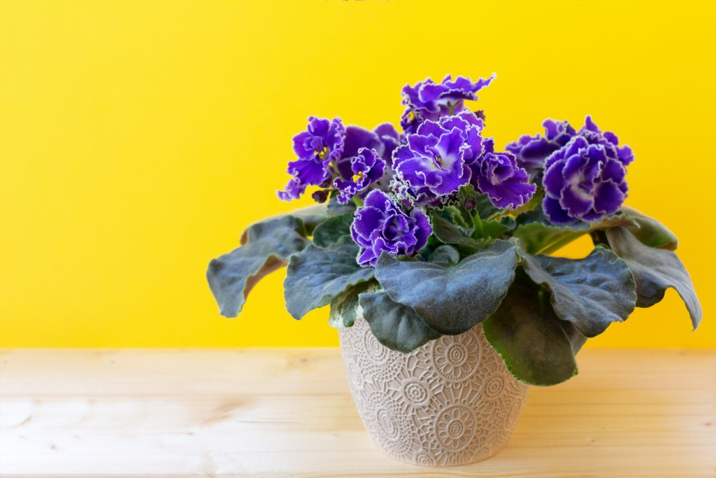 african violets on table