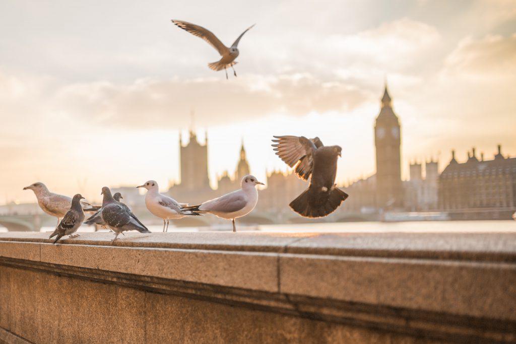pigeons landing on balustrade by Thames opposite London skyline